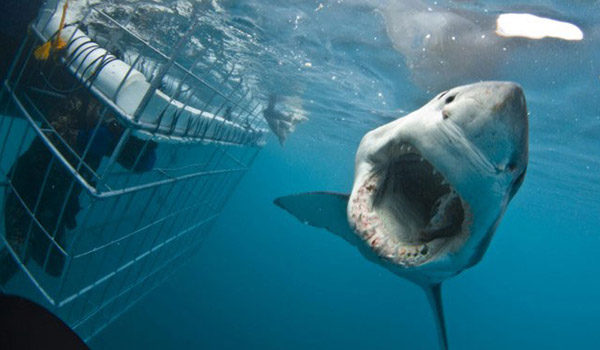 Shark swimming past people in cage